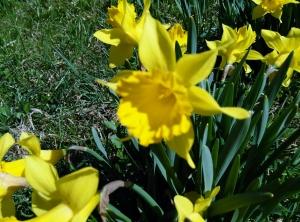 Blog Daffodils Blurry