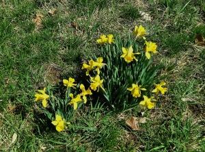 Blog Daffodils Bunch