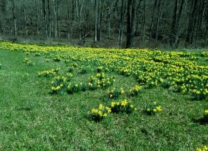Blog Daffodils Sweep