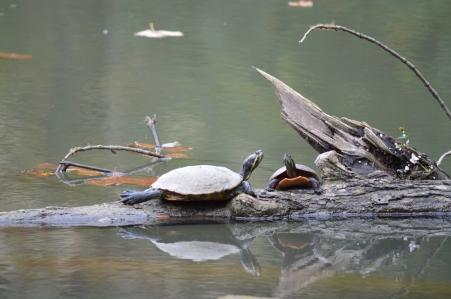 Yellow Springs Turtles